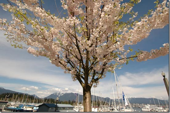 cherry-blossoms-vancouver