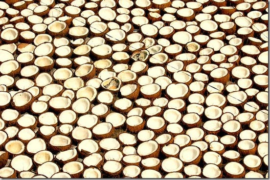 coconuts-drying