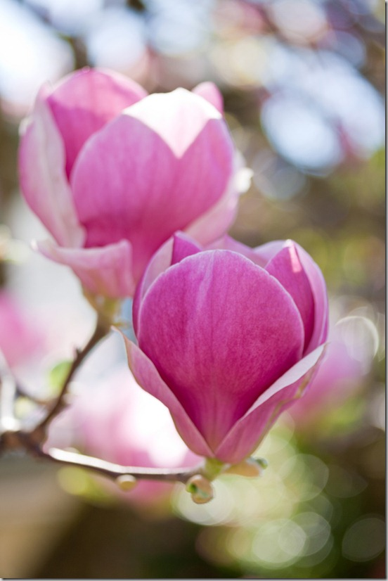 Portland Magnolias March 2013